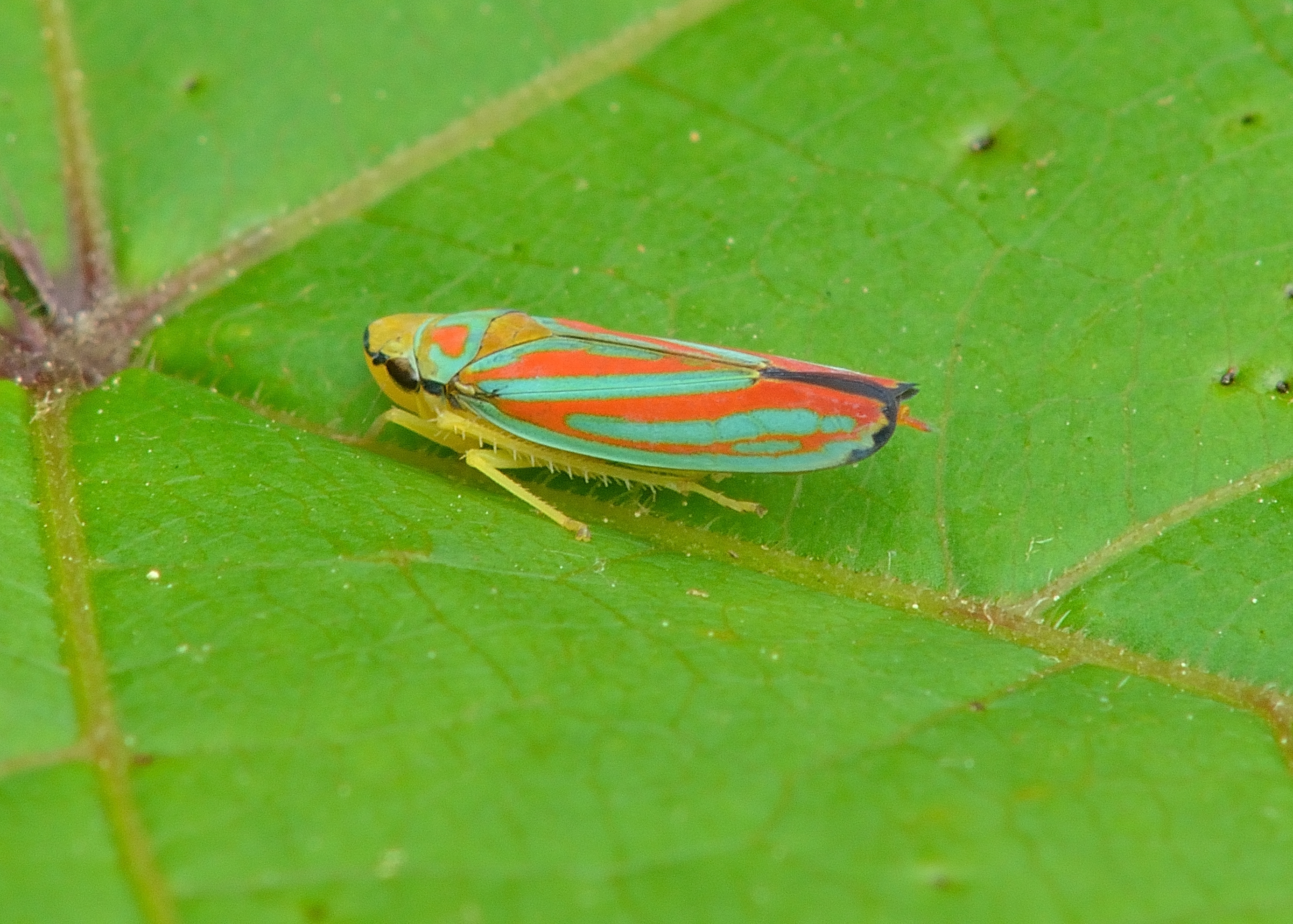 DSC_4995 candy-striped leafhopper 06 16 16 bill moses