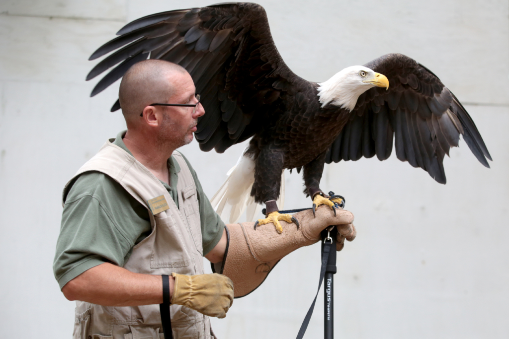 Carbon County Environmental Center and educator Franklin Klock holds up the resident Bald Eagle at the Hawk Mountain outdoor amphitheater during Bald Eagle Migration Day. Photo by Natalie Kolb 8/30/2014