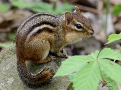 Chipmunk with full cheeks (photo by Chuck Tague)