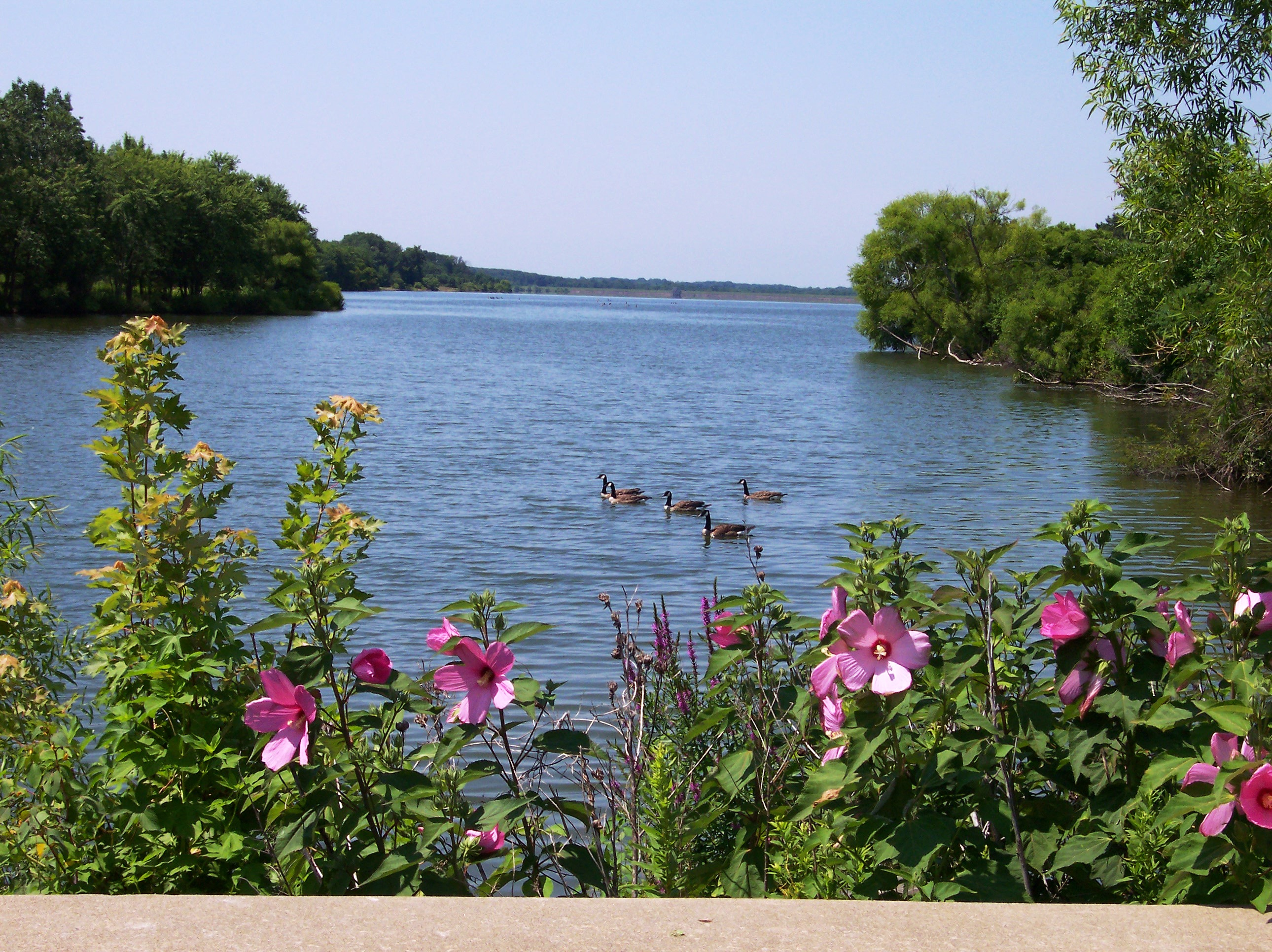 1465638252Best_pic_rose_mallow_lake_geese.jpg